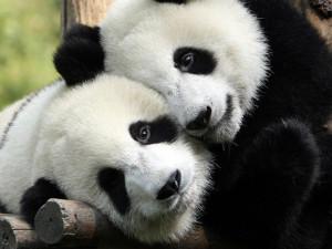 ... fondo de escritorio donde aparece una pareja de pandas muy abrazados