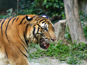china tigers are a reminder that the threat against the world s tiger ...