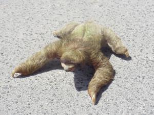 cute little sloth at the rescue center puerto viejo costa rica tpfil ...