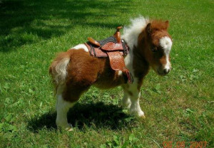 Cute Baby Mini Horse By thinline horse nation