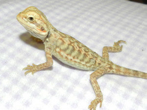 Bearded Dragon Care Dragons