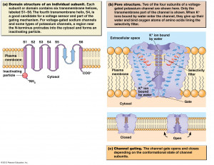 Voltage Gated Sodium Ion Channel