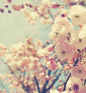 cherry blossom Thoughts, Life Quotes, Cherries Blossoms, Soft Pink ...