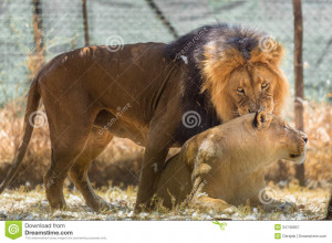 Lion And Lioness Love Quotes Lion and lioness love