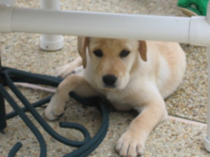 labrador puppy 10 weeks old yellow