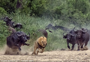 Hunter becomes the hunted as this not-so-fierce lion is forced to flee ...