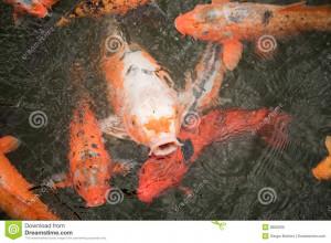 Close up of colorful red koi carp fish.
