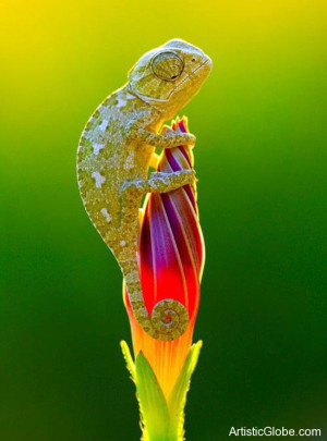 Baby chameleon explores a flower bud
