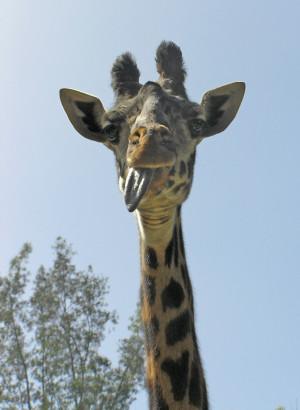 Fat Giraffe Memes Results