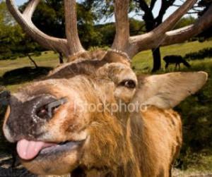 stock photo 4548186 funny elk