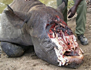 Slaughtered-Rhino-against-animal-cruelty-17352416-450-349