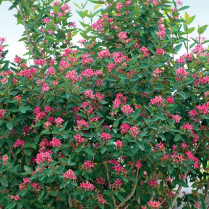 Pink Honeysuckle Hedge