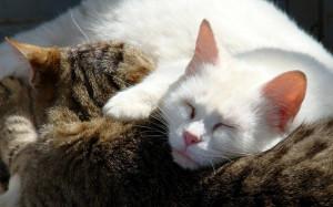 Sleeping Cats Widescreen HD Desktop Backgrounds, Wallpapers