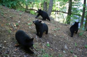 Black Bears in Gatlinburg Tennessee