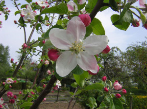 Apple Blossom by Josef Petrek