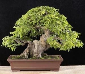 sweet tamarino trees | Tamarindus indica Bonsai Seeds - Tamarind ...