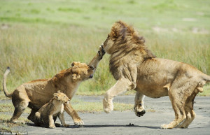 ... : Lioness lashes out to protect cub when father gets a bit too rough