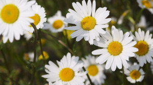 Description: The Wallpaper above is Daisies hd Wallpaper in Resolution ...