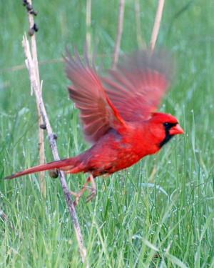 cardinal bird flying - Google Search