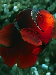 ... jpeg, Download mobile wallpaper Animals, Clown fish, Fishes for free