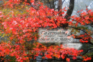 To everything there is a season. Ecc 3-1Red leaves in the fall with ...
