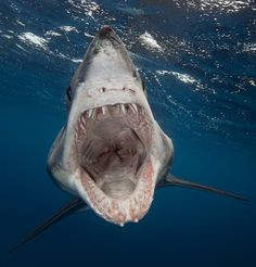 shortifn mako shark bears its teeth towards photographer Sam Cahir ...