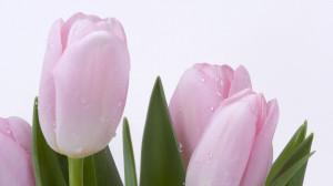 Download Pink tulips 1920x1080 Wallpaper