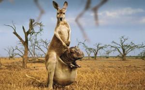 Kangaroo High Resolution Wallpapers Free Download