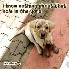 Labradors.com cute #puppy yellow labrador More