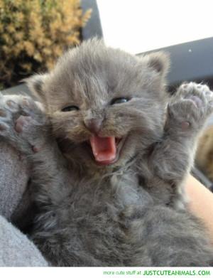 cute-animals-happy-kitten-cat-grey-pics.png