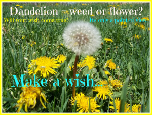 Dandelions - weed or a flower? It depends on your point of view!