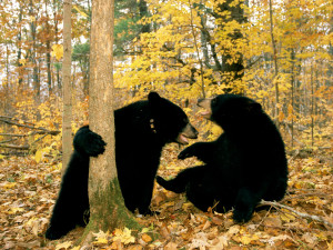 Black bears in autumn forest