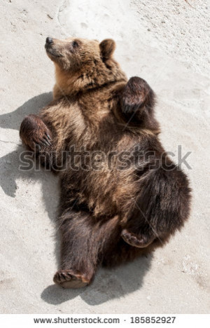 Young Brown Bear Ursus Arctos Lying The Ground Funny