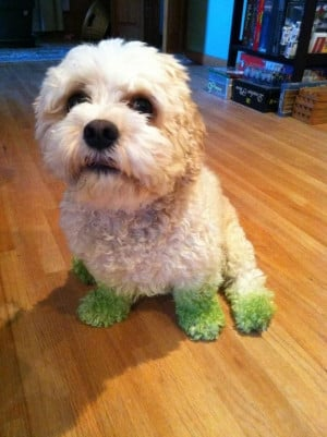 Lawn Mowing - Funny Dog With Green Paws Looking Like Wearing Socks