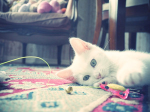 blue eyes, cat, cute, white