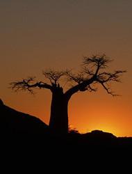 Adansonia Diqitata Baobab Tree