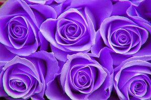 rose flower beautiful purple rose flower images awesome purple rose ...