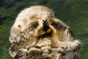 Closeup Of A Captive Sea Otter Covering Photograph