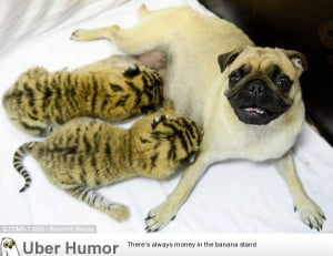 abandoned TIGER cubs as if they were their own after the cats' mother ...