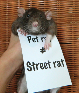 rats pet rats fancy rats dumbo rats