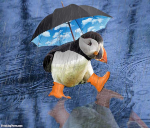 Direct image link: Puffin In The Rain
