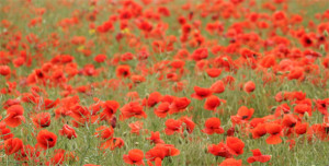 Poppies Flowers With Least 399 Pixels Wide AiHouQi com