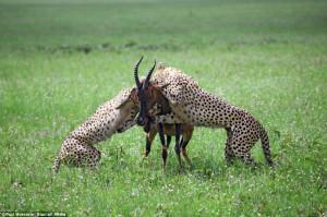 cheetah eating prey