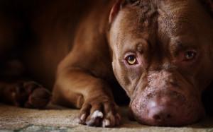 pit bull puppy x ss hydro puppy grid x sad puppy wallpaper x black ...