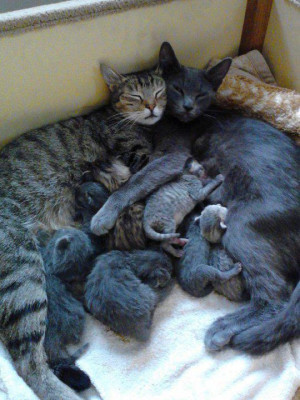 Mother cat, father cat and bunch of cubs sleeping together