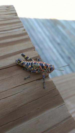The coolest grasshopper I've ever seen