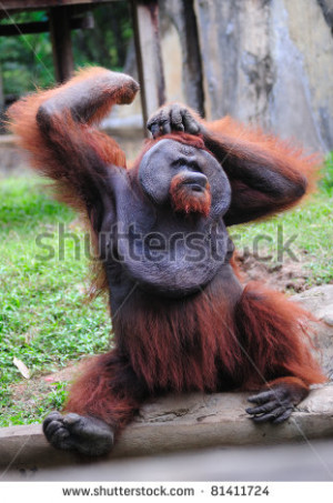 Funny Orangutan Backgrounds Funny orangutan - stock photo