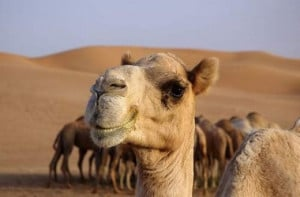 Today we have come up with some funny pictures of camel. We hope you ...