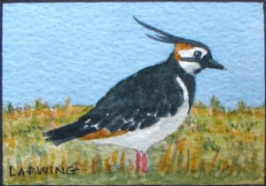 The Lapwing or Peewit from its distinctive call. A UK resident and ...