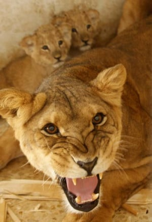 Lioness Protecting Her Cubs